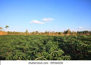 Cassava or Tapioca farmland agriculture.