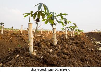 Cassava or Tapioca plants, Manioc , Germinate, branch growing in the farm, Cassava conversion