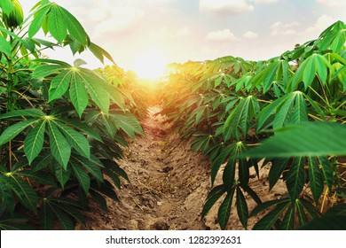 cassava tree in farm and sunset