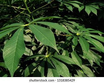 cassava tree leaf daun singkong