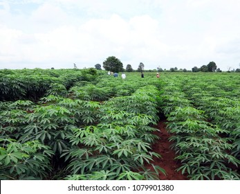 The cassava is the tropical food plant,it is a cash crop in Thailand.This is the landscape of cassava plantation in the Northern Thailand.