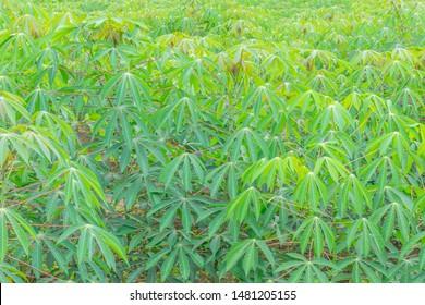 Cassava,Tapioca,plant field, surface texture leaves.