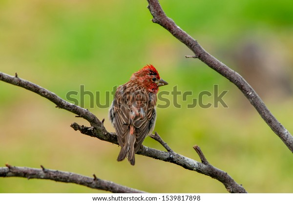 Cassein's finch in the forest in Idaho in summer