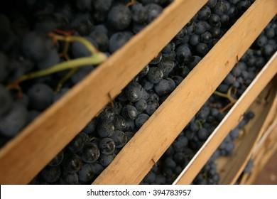 Cassetta di legno con uva rossa appena raccolta, Amarone, Valpolicella