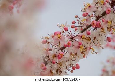 Cassia bakeriana flower blooms in summer