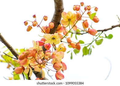 Cassia fistula/ Cassia bakeriana (or) Cassia fistula/Cassia javanica (Rainbow shower tree). Hybrid tropical flowers