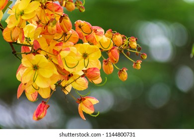 Cassia fistula /Cassia bakeriana (or) Cassia fistula/Cassia javanica (Rainbow shower tree) ; A brightly colors are eye-catching , pinkish white flowers, bunch into large bouquet , on high tree.