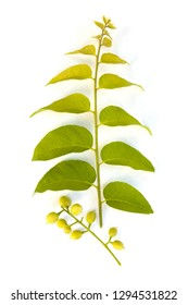 Cassia fistula berries and branch with leaves isolated on white background from above. Laxative, antiseptic.