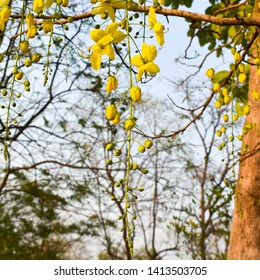 Cassia fistula commonly known as golden shower, purging cassia or Indian laburnum