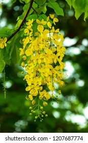 Cassia fistula is flower bright yellow and fragrant in big raceme
