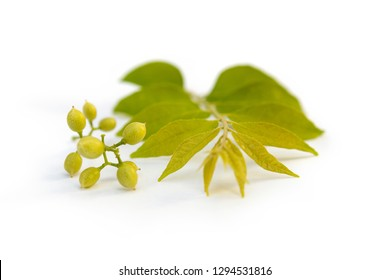 Cassia fistula flower isolated on white background. Ayurvedic medicine.