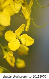Cassia fistula flower on blurred background. Close up.