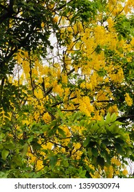 Cassia fistula flower on the tree.Closeup of golden shower plant.Yellow flowers in Thailand.Beautiful many yellow flowers on the tree.Closeup of yellow flowers in summer.
