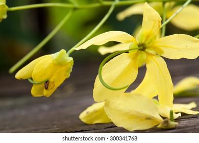 Cassia fistula flower in  Thailand