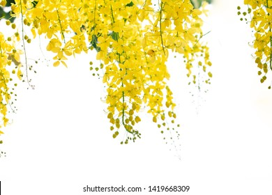 Cassia fistula flowers or golden shower flower with copy-space for nature background.