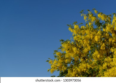 Cassia fistula, golden rain tree, canafistula, flowers are full bloom with blue sky in the background.