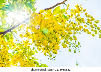 Cassia Fistula (Golden Shower Tree) Blooming . With blue sky and white cloud .