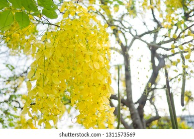 Cassia fistula,  golden shower tree