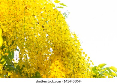 Cassia  fistula ,golden shower tree or golden rain tree with white background are beautiful and yellow flower bloom in April at Thailand