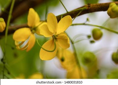 Cassia fistula, Golden shower tree flower, Kanikonna