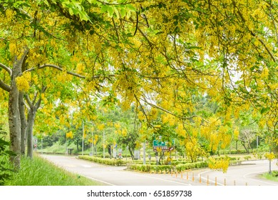 Cassia Fistula (Golden Shower Tree) Blooming at Erxi Interchange of Highway#84 , Danei Dist, Tainan, Taiwan