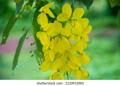 Cassia fistula, Cassia fistula and Green background