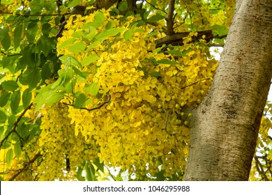Cassia fistula, known as the golden rain tree, canafistula and by other names, is a flowering plant in the family Fabaceae.