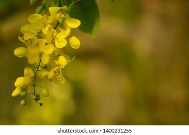 Cassia fistula known as golden shower purging cassia or Indian laburnum