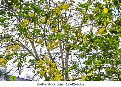 Cassia fistula L. Small to medium trees Found in dry deciduous forest Is a native plant of South Asia Found in many countries including Pakistan, India, Myanmar and Sri Lanka.