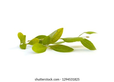 Cassia fistula leaves  isolated on white background.