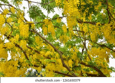 Cassia fistula Linn flowers. Blossom in Jan.