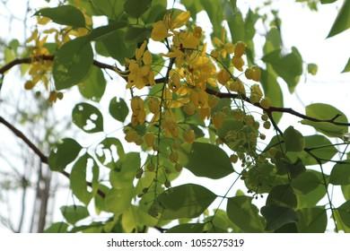 Cassia fistula national flowera