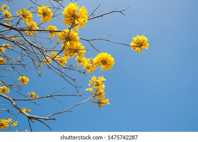 Cassia fistula in the park with blue sky