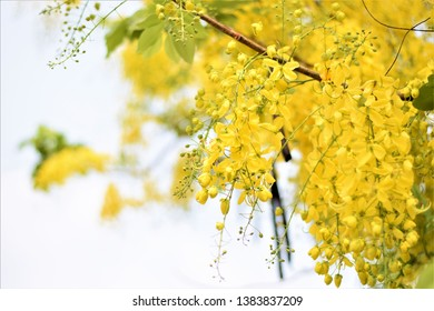 cassia fistula or Ratchaphruek or Golden Shower Tree blooming on tree in white background.It is Thailand national tree.