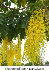Cassia fistula thailand national flower. Golden shower.