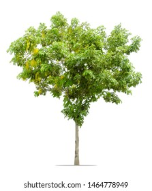 Cassia fistula tree  or Golden shower tree isolated on white background