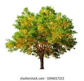 cassia fistula tree isolated on white background with Clipping Path