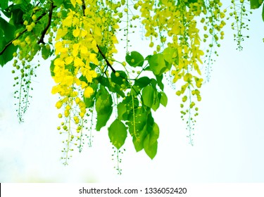 Cassia fistula yellow flower and greenLeaves  nature