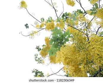 Cassia fistula,Cassia Fistula (Golden Shower Tree) Blooming . With blue sky and white cloud .