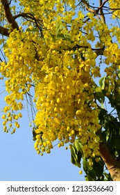 Cassia fistula/Golden shower tree in full bloom