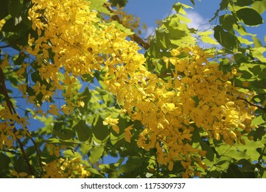 Cassia fistula,Ratchaphruek is also a national flower.