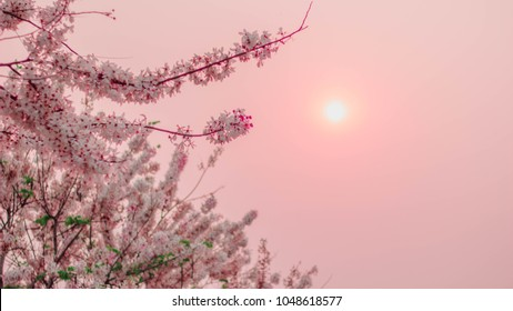 Cassia javanica, Java cassia, pink shower, apple blossom and rainbow rainbow. and sky Pink evening