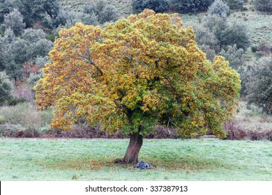 Castanea sativa. Chestnut tree in autumn.