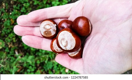 Castania nuts in palm of male hand over green forest floor at autumn outdoors