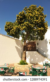 Castellar, Spain - Oct 20, 202: a chestnut tree (Castanea sativa) loaded with chestnuts inside the patio of an andalusian house