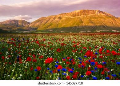 Castelluccio flowering hills, landscape - Italy