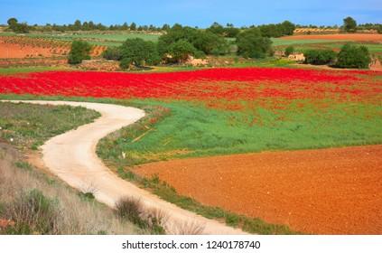 Castile La Mancha poppies fields in Cuenca by Saint James Way of Levante Spain