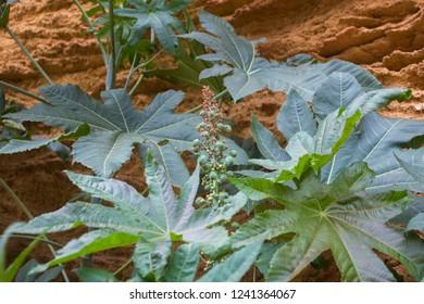 castor bean plant against a background of grooved sandstone