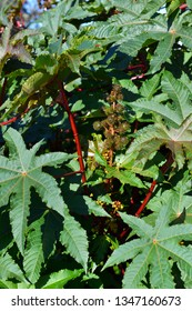 Castor Bean plant showing leaves and fruit, the seeds of which contain and oil and are very poisonous