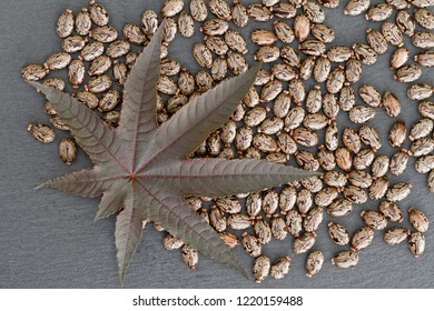 Castor Bean (Ricinus communis) - Leaf and Seeds
